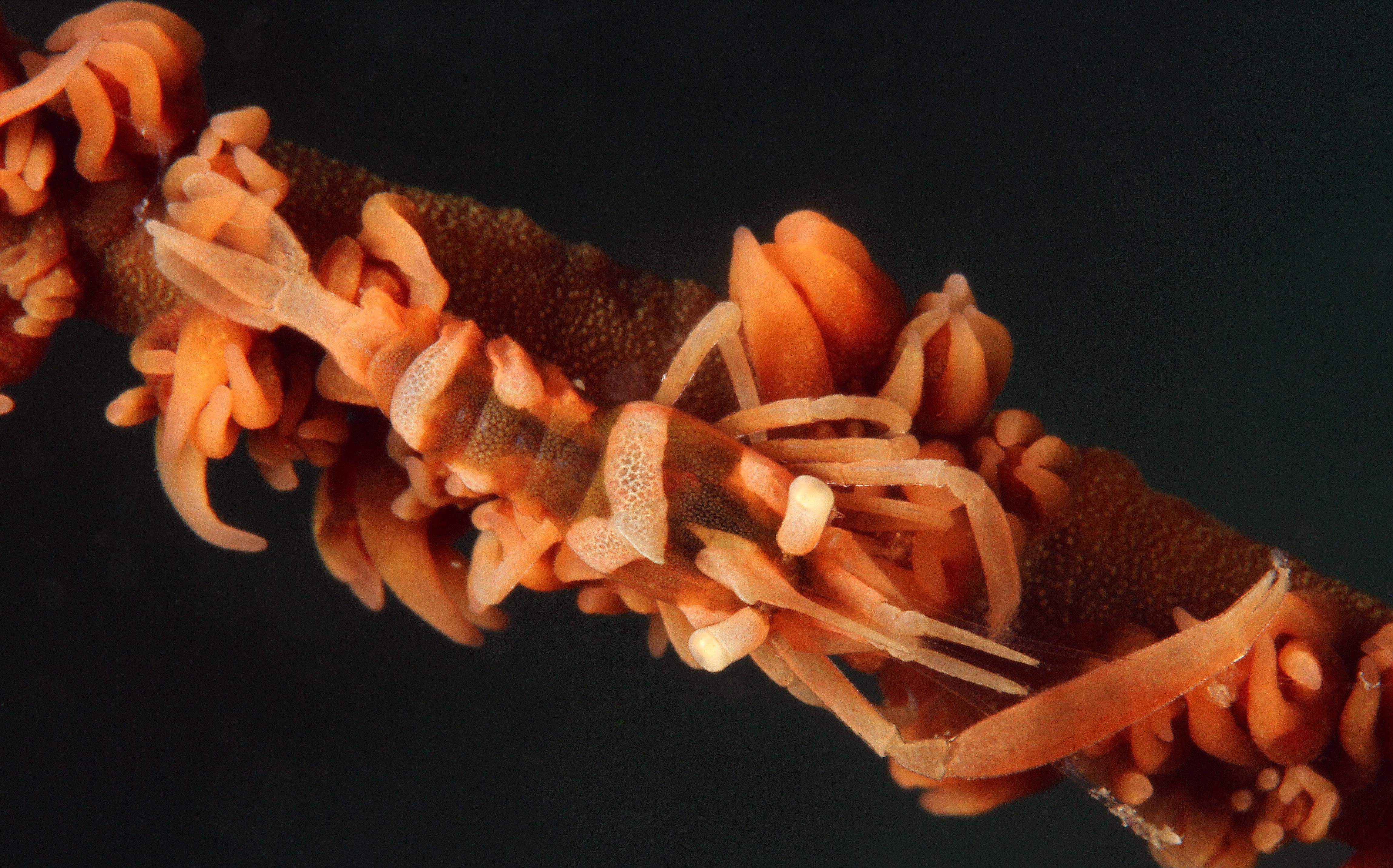 Zanzibar Whip Coral Shrimp