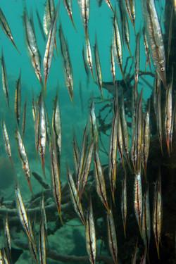 Razorfishes