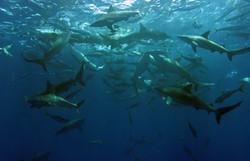 Galapagosharks
