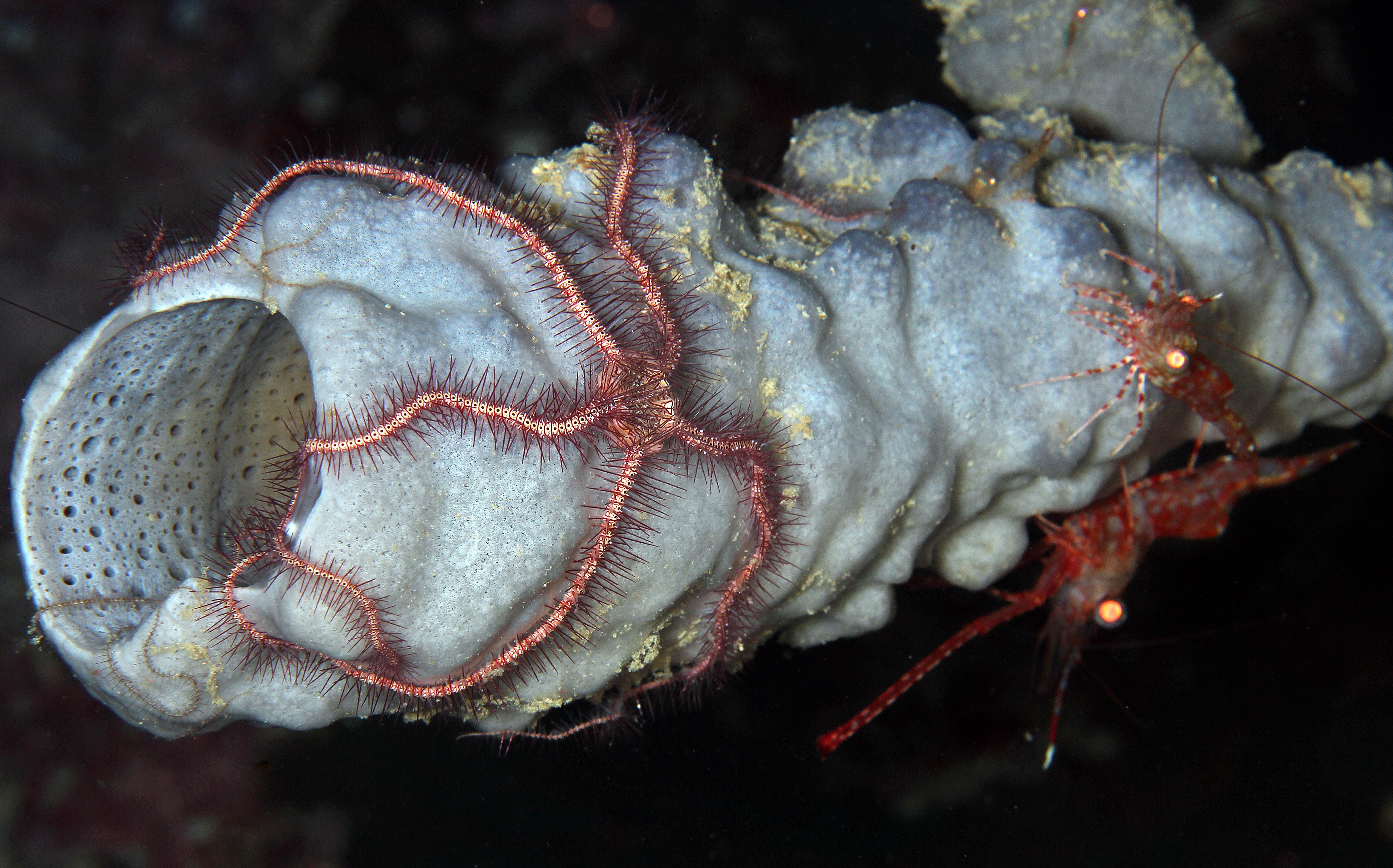 Dark Red - Spined Brittle Star