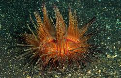 Radiant Sea Urchin