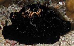 Common Egg Cowrie