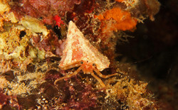 Tiny Hemit Crab