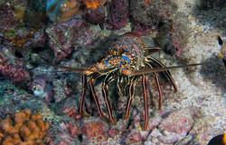 Pronghorn Spiny Lobster