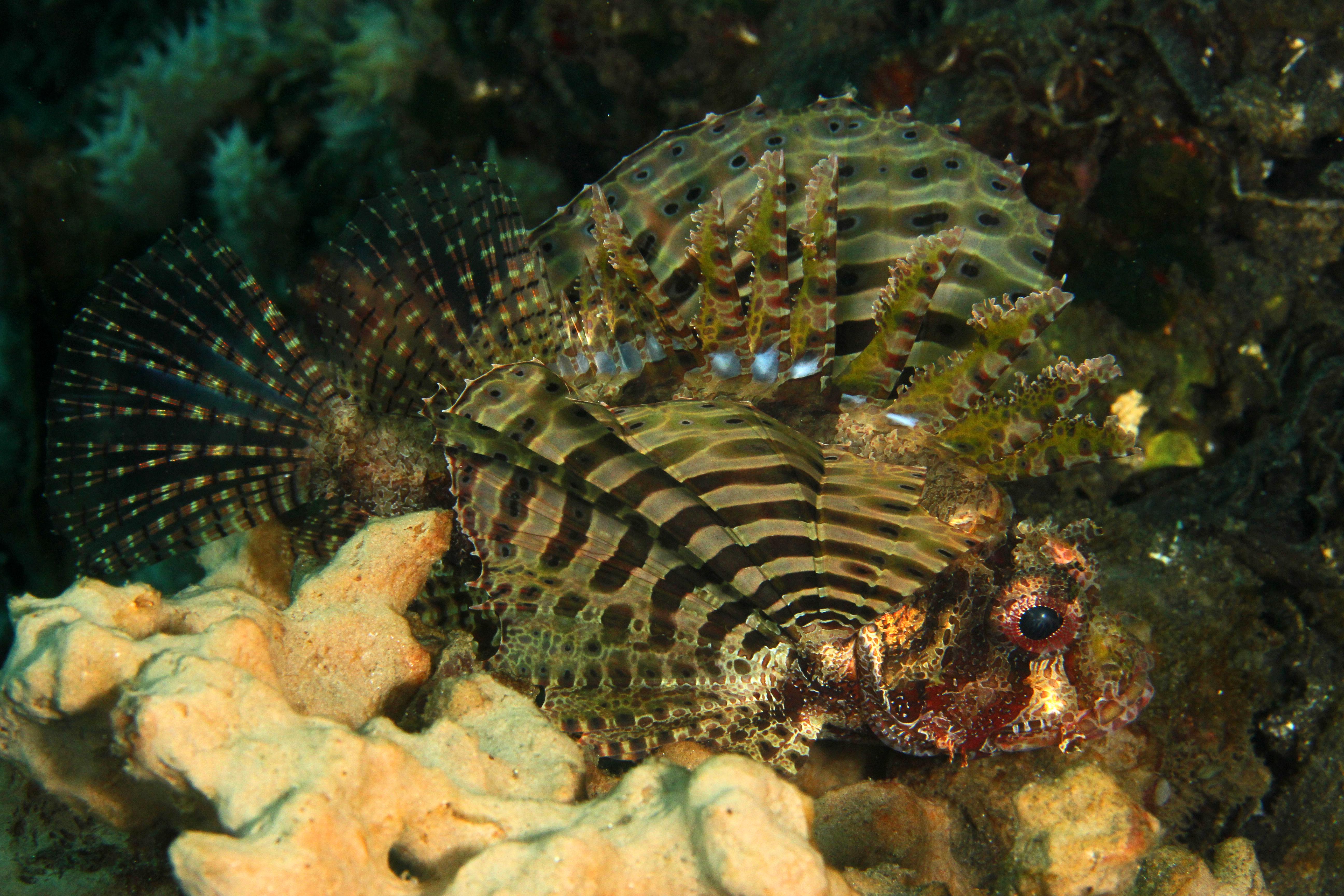 Shortfinn Lionfish
