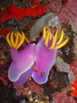 Hypselodoris Apolegma