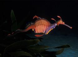 Australien Seadragon