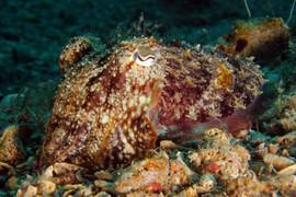 Sepia officinalis. Commen Cutlefish. Gemeiner Tintenfisch.