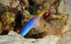 Blue Ribboneel Male