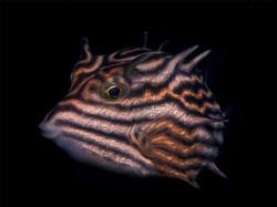Tasmanian Cowfish