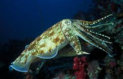 Mating Broadclub Cuttlefish
