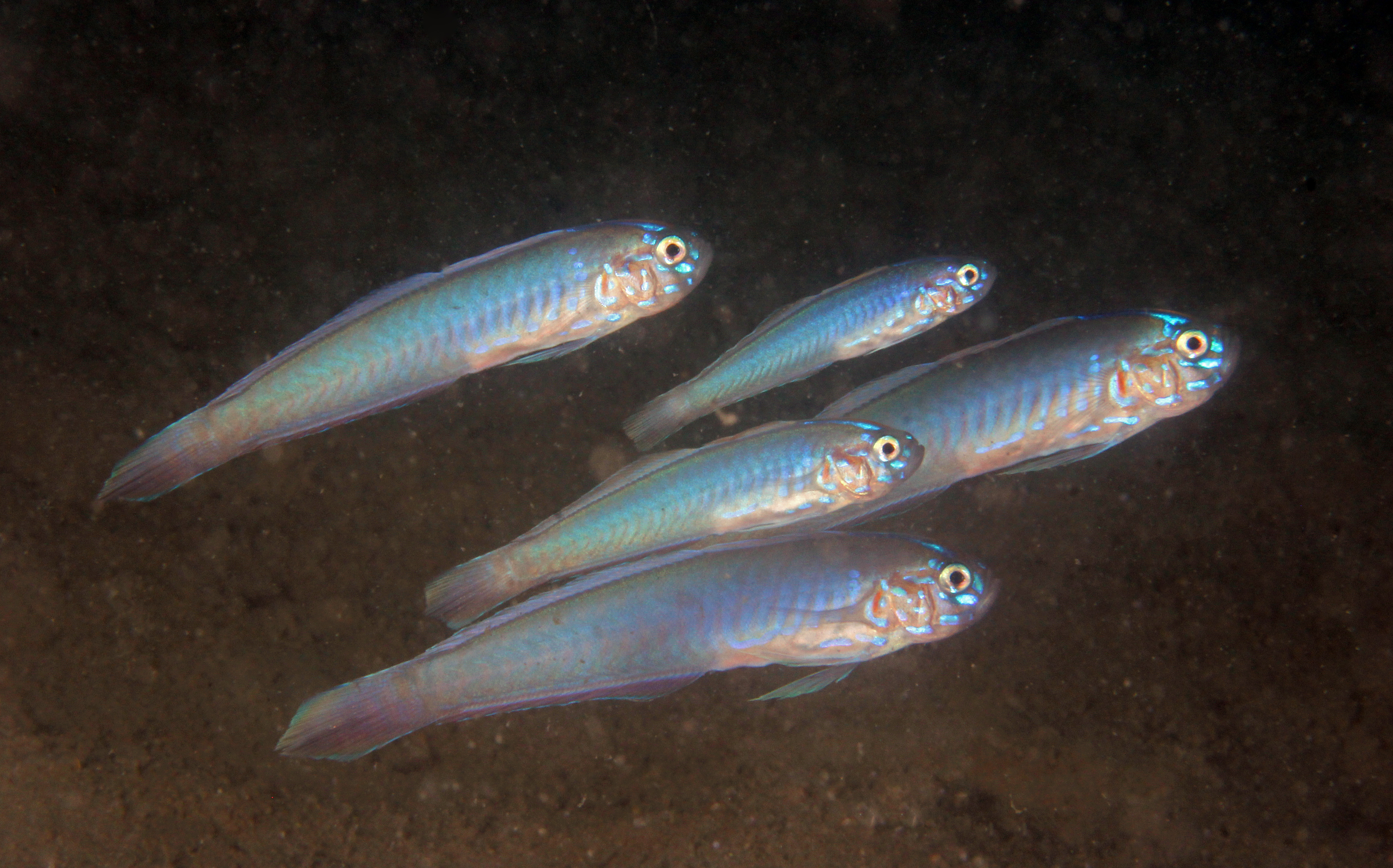 Blue-barred Ribbongoby