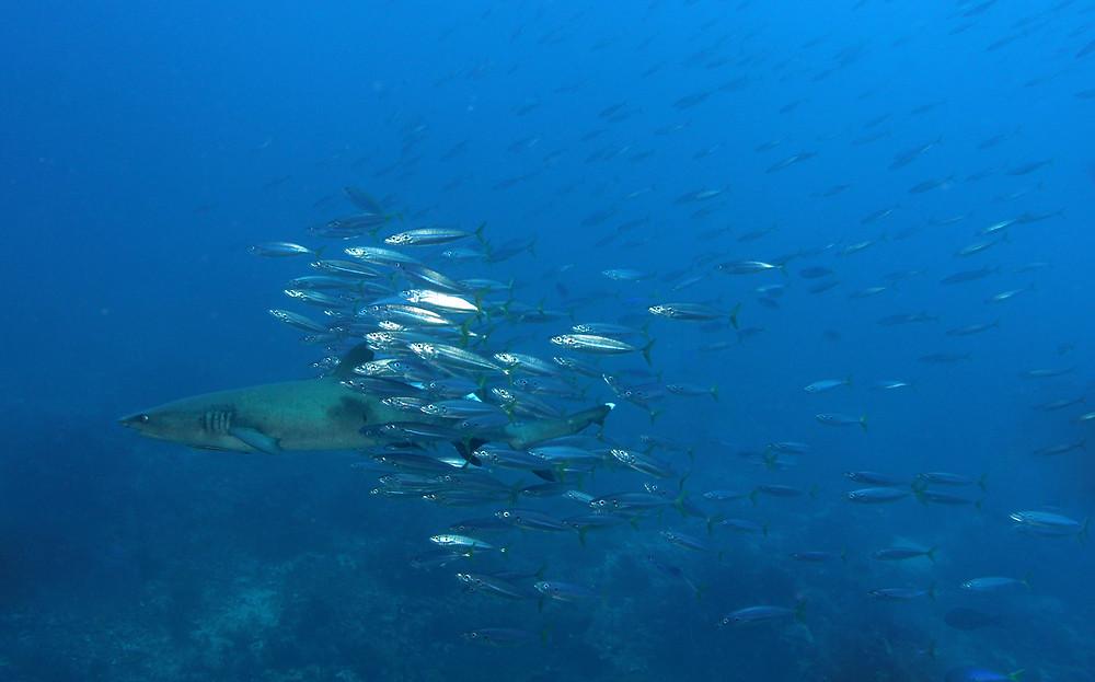 Withe Tip Shark