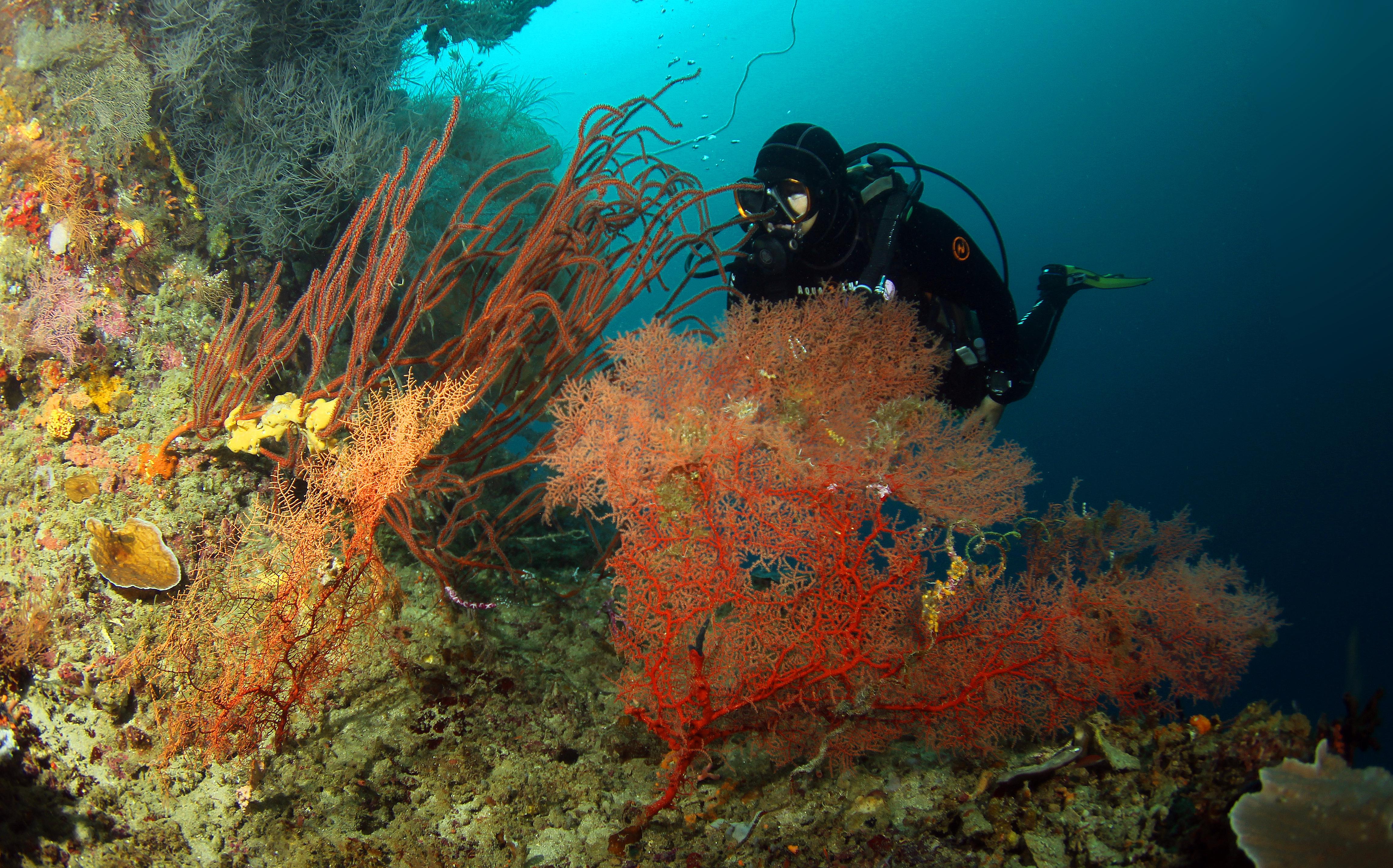 Gorgonien und Seepeitschen