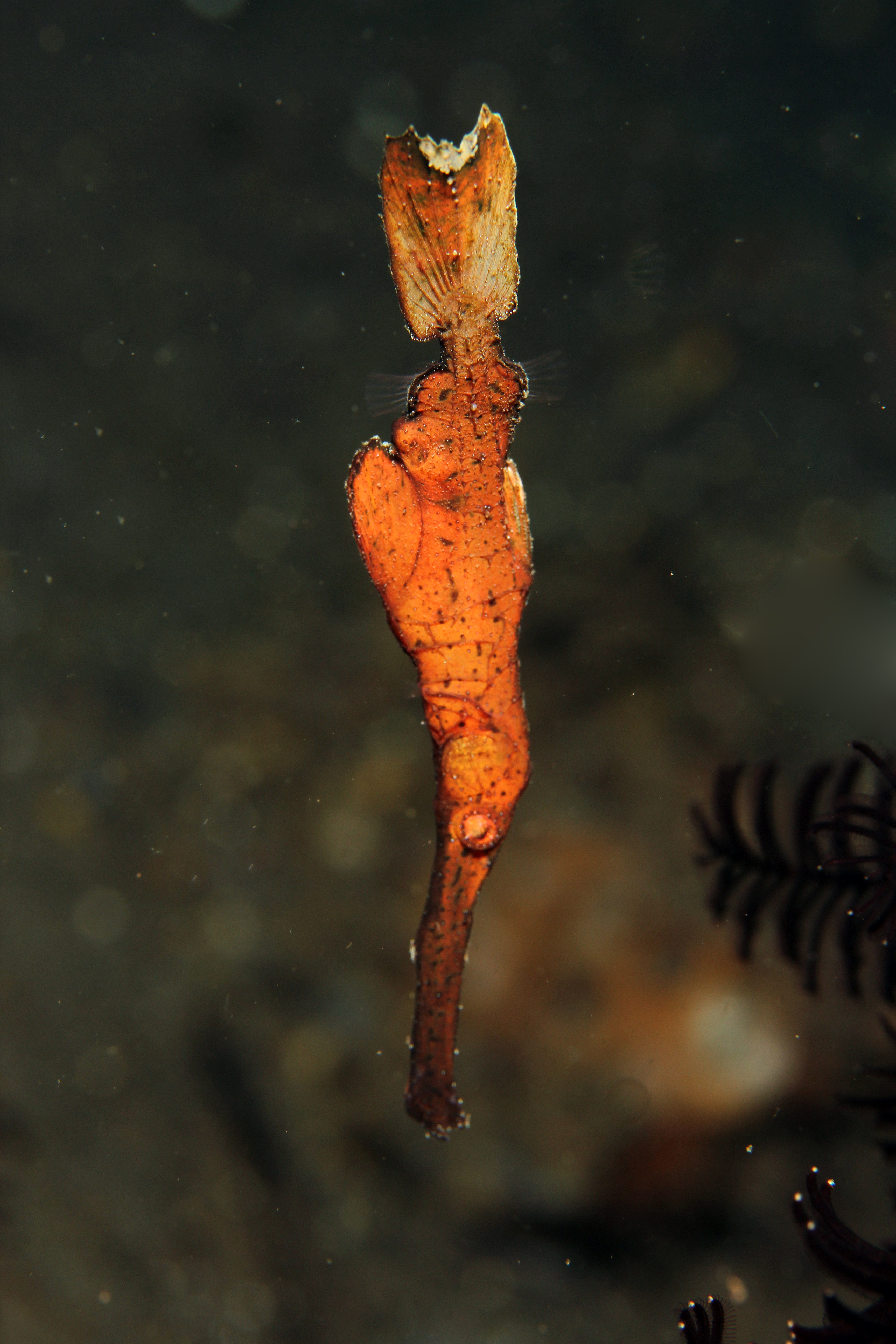 Thin Ghost Pipefish