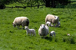 Sheep in a field Little Smeaton