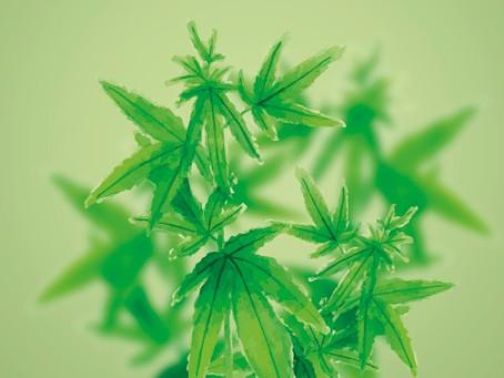 Klenk und Pedanios kooperieren im Bereich Cannabisblüten