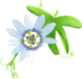 Passionsblume1.png