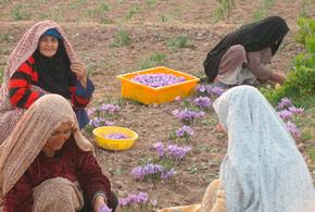 Safran-Anbau in Afghanistan