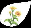 #KLE Calendula:Ringelblume Inhaltsstoffe