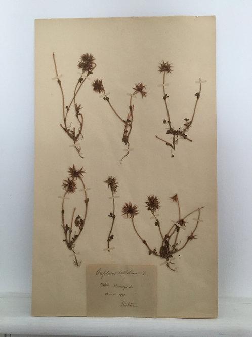 Vintage French Herbier (Trifolium Stellatum)