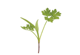 Micro_Parsley-removebg.png