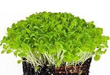 Lettuce Romaine.jpg