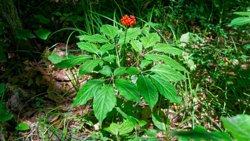 Ginseng plant with berries grown by KiwiSeng in New Zealand