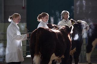 Show cattle.jpeg