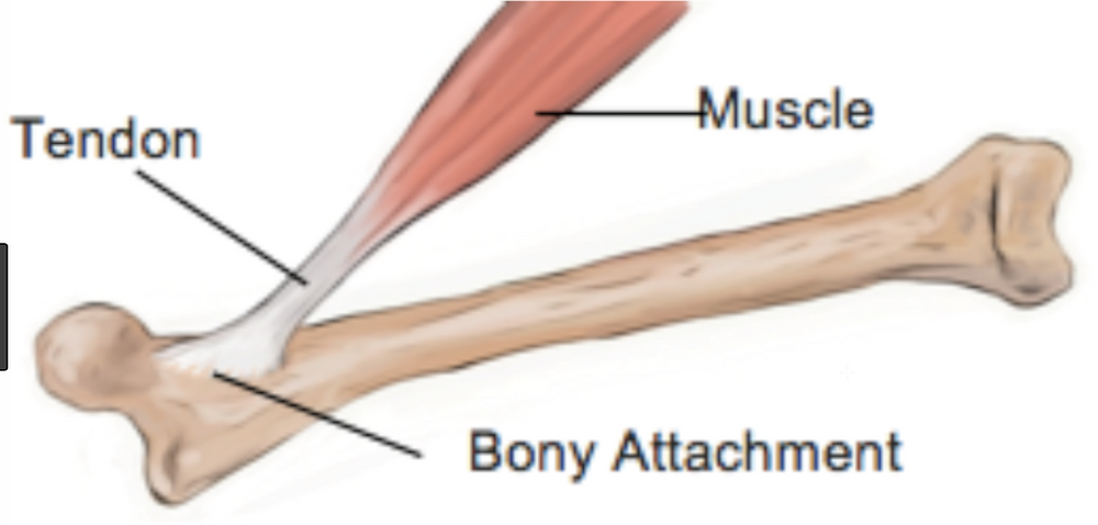 Showing how the Tendon attaches the muscle to a bone
