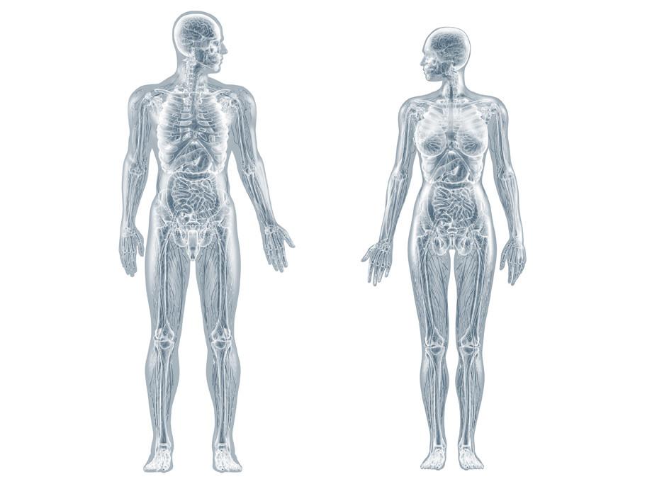 Anatomie – innere Organe / 3d-illustration