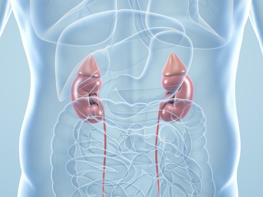 Nieren – anatomische 3D-Illustration