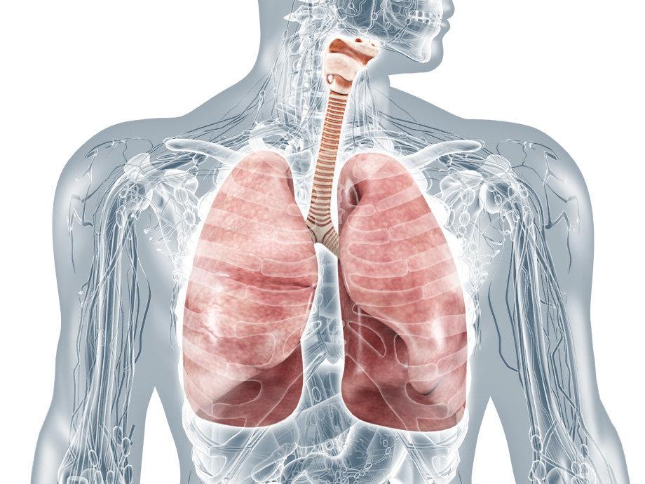 innere-organe-lungen-anatomie-3d-illustr