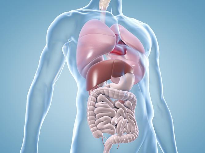 innere_organe_anatomische_illustration K
