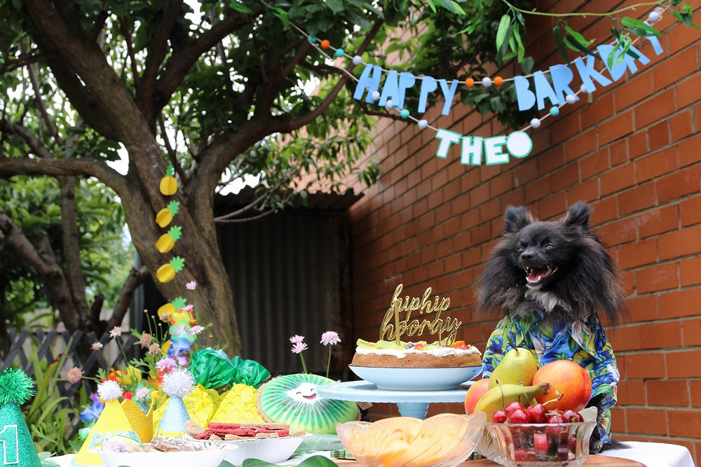 Cute black pomeranian celebrating first barkday in Hawaiian theme with chews and party
