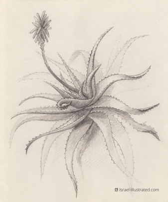 Aloe Vera, Pencil Study