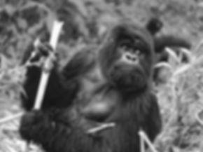 Mountain gorillas, Rwanda, Africa