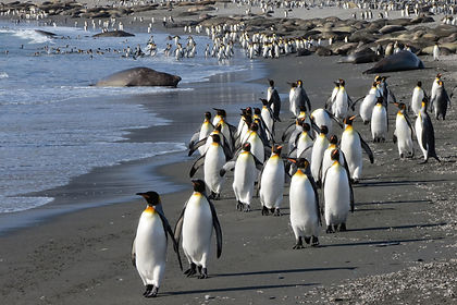 Explore both the Falkland Islands and South Georgia, a trip sure to appeal to intrepid explorers and nature lovers alike.  If you have been to the Antarctic Peninsula but omitted South Georgia on that trip, this is a trip you do not want to miss.   After discovering the Falklands, its myriad bird species and its unique way of life, sail on to South Georgia, resting place of famed explorer Sir Ernest Shackleton.  Unlike on regular expedition cruises we spend a full  week travelling around this wonderful island, seeing all its wildlife and landscape in depth.   We'll see the breeding beaches of elephant seals and King penguin colonies at Salisbury Plain, St. Andrews Bay and Gold Harbour, visit the whaling stations at Stromness and Grytviken, observe macaroni and gentoo penguins, admire the stunning landscapes and delight in the many species of birds, including Antarctic terns, white-chinned petrels, blue-eyed shags and light-mantled sooty albatrosses. This is a journey for travellers with a love of exploring the unknown - come and join us on this expedition cruise to the South Atlantic.