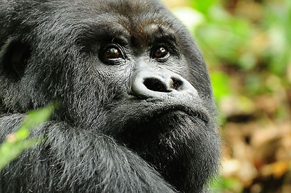 Travel to Rwanda and come eye to eye with mountain gorillas in their natural setting.  After you trek through dense jungles the hour spent with our closest relatives is one experience you will carry with you for life.  But there is more to Rwanda than seeing these magnificent creatures.  There is the frenetic capital Kigali, Nyungwe Forest with its intriguing wildlife and a true birder's paradise.  There is stunning Lake Kivu, set against a backdrop of volcanoes and terraced farmlands.  See for yourself why they call this the Land of a Thousand Hills.   As with all our private tours, this sample itinerary can be completely tailored to create the perfect journey of discovery for you.