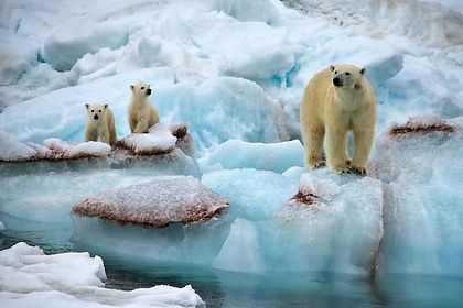 The Svalbard archipelago, of which Spitsbergen is the main island is arguably the best place in the world to see Polar Bear in the wild.  In addition this cruise will give you a sense of travelling to your farthest north and show you whaling stations, marvelous scenery of mountains and glaciers, and other wildlife, including  whales, reindeer, Arctic foxes, walruses and seals.