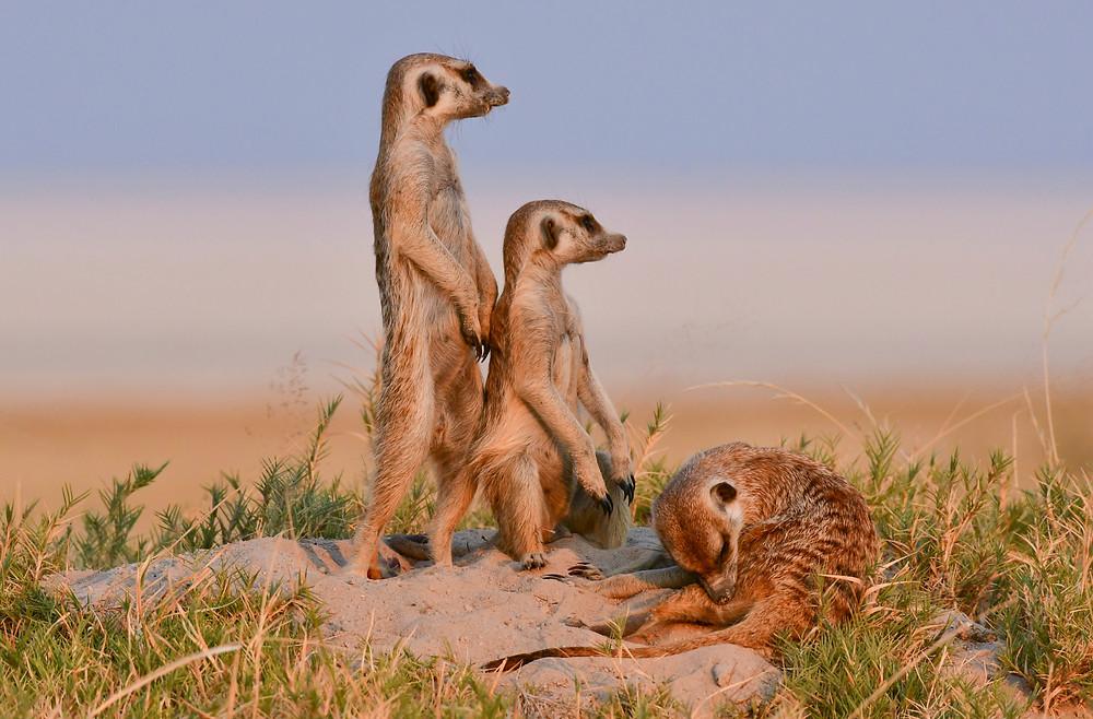 Meerkat safari Makgadikgadi & Nxai Salt Pans Botswana Africa