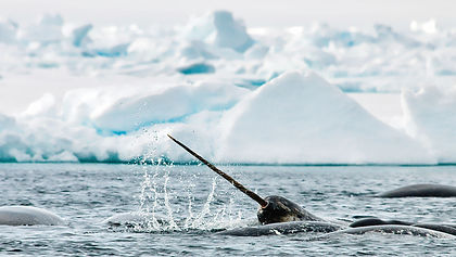 Join us for an expedition cruise along the west coast of Greenland and into the entrance of the North West Passage.  Enjoy majestic fjords lined by steep mountains, view the Ilulissat Icefjord and glacier, discover incredible wildlife in Tallurutiup Imanga (Lancaster Sound) and around Devon Island, enjoy  Inuit cultural experiences in Mittimatalik (Pond Inlet) and travel back in time at the graves of the Franklin Expedition on Beechey Island.