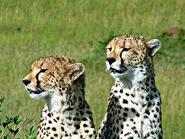 5 Mara cheetah faces.jpg