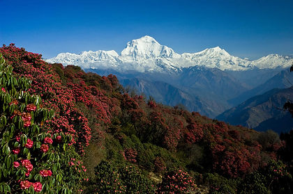 Nepal's Annapurna Sanctuary is a natural amphitheatre surrounded by such lofty peaks as Annapurna 1 and Machhapuchhare.  The Annapurna Sanctuary trek takes you from lower forest-clad valleys into the heart of the Sanctuary for marvelous views of these mountains.  We spend a day inside this stunning arena before hiking out to Pokhara via a different trail.