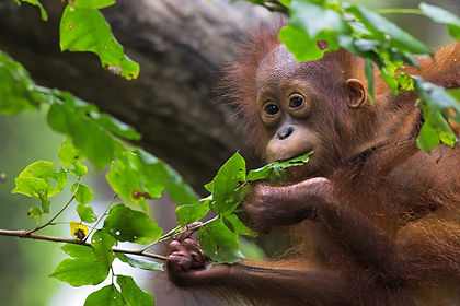 Come face to face with Borneo's wildlife, including orangutans and proboscis monkeys.  Visit famed Sepilok Sanctuary and stay in some of Malaysia's best known jungle lodges, including Borneo Rainforest Lodge in the Danum Valley.  The cultural aspect is not overlooked either, with a stay in a longhouse.