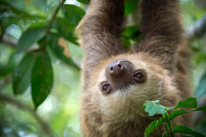Your naturalist guides will help you discover Costa Rica's wildlife, including howler monkeys, caiman, sloth and green turtles. Explore rainforest, mangroves, lava fields and mysterious cloud forests while staying in the comfort of eco-lodges and hotels