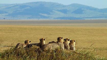 Track gorillas, chimpanzees and other primates in Uganda, see spectacular wildlife in Kenya's Maasai Mara, at Lake Nakuru, Queen Elizabeth NP and Murchison Falls.