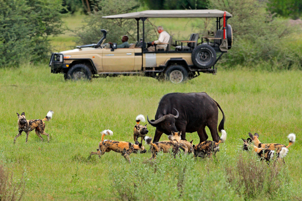 Cape Buffalo and wild dog Moremi safari Botswana Africa