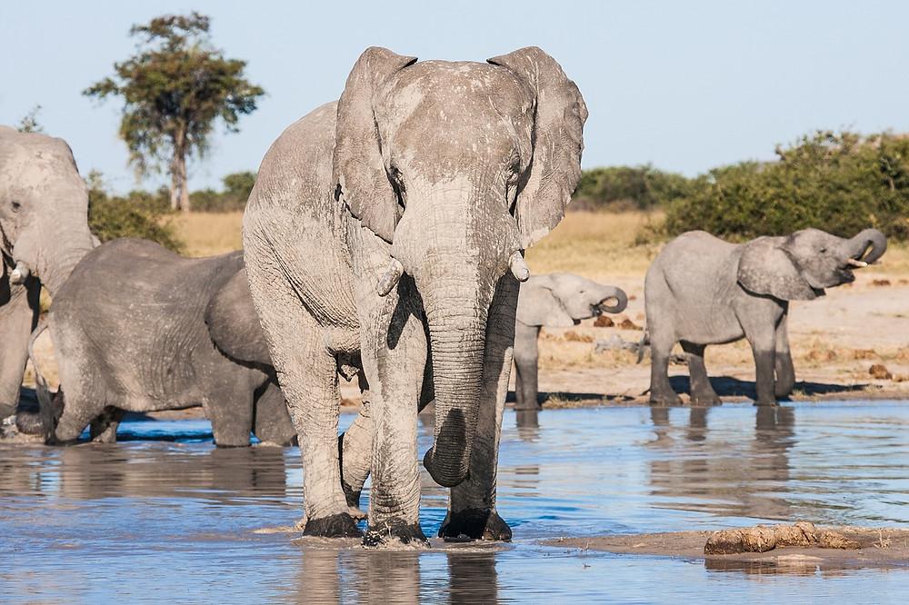 Chobe elephant herd safari Botswana Africa
