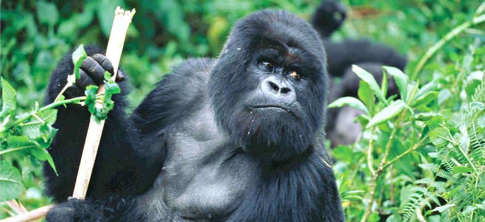 trek to silverback mountain gorilla rwanda africa